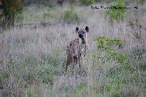 Sabi Sabi Hyena