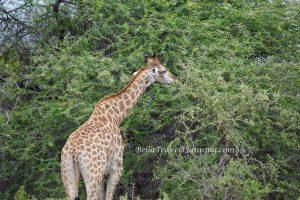Sabi Sabi Giraffe