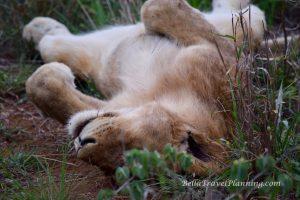 Sabi Sabi Sleeping Lioness